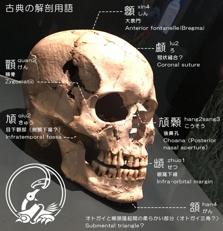 解剖図説 古典の解剖用語